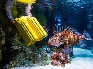 Tuesday 2nd June 2015, The Sealife London Aquarium:  Graham Banton places a LEGO oxygen tank in the Lion fish display whilst wearing chainmail to protect himself as divers at the SEA LIFE London Aquarium install marine inspired models made of 9,000 LEGO®  bricks into the impressive million litre Ocean Display for visitors to spot. Surrounded by two enormous Green Sea Turtles, sharks, rays and tropical fish, the installation kicks off the start of a three month trail celebrating the new LEGO® City Deep Sea collection.  Visitors to the south bank attraction from today can use their Deep Sea Explorer Log Book and spot the six items of 'misplaced equipment' hiding throughout the attraction. Amongst the Lion fish, rays and sharks they will find LEGO® models of a pair of flippers, goggles, oxygen tanks, a radio, a wrench and even a camera.  PR Handout - editorial usage only   For further information and a full release please contact Tansy at freerange communications on tansy@freerange.eu or 0207 402 9966  Copyright: © Mikael Buck / Sealife London Aquarium +44 (0) 782 820 1042 http://www.mikaelbuck.com